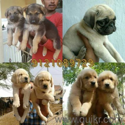 Labrador, German Shepard, pug, Golden retriever, Great Dane, rottweiler puppies for sale. in Begumpet, Hyderabad Pets on Hyderabad Quikr Classifieds