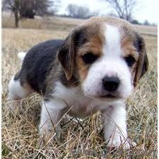 BEAGLE MALE AND CUTE AWESOME PUPPY SALE IN ALL OVER INDIA CALL ME NOW 9555944924 in Azamabad, Hyderabad Pets on Hyderabad Quikr Classifieds