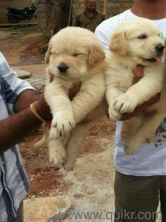 100% pure Original ultimate quality Golden RETRIVER female puppies available: free home delivery in Dilsukh Nagar, Hyderabad Pets on Hyderabad Quikr ...