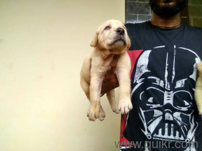 Arjun Rddy Special British Labrador Puppies in Begumpet, Hyderabad Pets on Hyderabad Quikr Classifieds