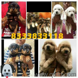 ALL TYPES OF ORIGINAL AND HEALTH QUALITY PUPPIES AVAILABLE. in Begumpet, Hyderabad Pets on Hyderabad Quikr Classifieds