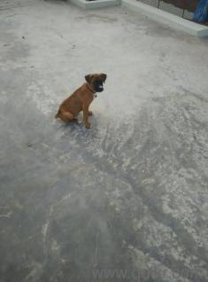 Boxer puppy - Hyderabad