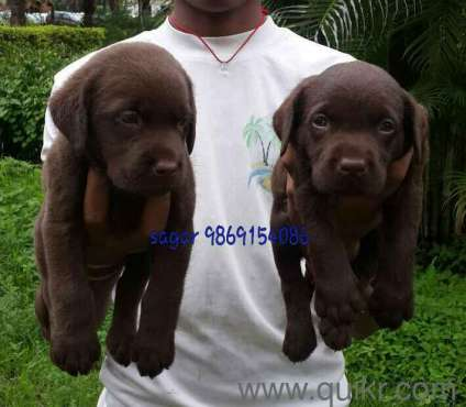 Labrador dog puppies for sale in bangalore dating. Dating for one night.